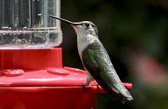 Ruby-throated hummingbird (schreckpeter45) Tags: rubythroatedhummingbird bird birds birding birdfeeder