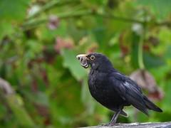 Merle noir (chriscrst photo66) Tags: animal oiseau merle noir nourriture vers de terre bird