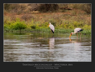 Tantalo beccogiallo - Mycteria ibis @Kruger National Park South Africa