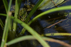 Grenouille (Atomic Blue Bee) Tags: eau nature lac animaux water lake animals grenouille frog