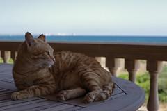 IMG_5978 Rubio, Mallorca (Fernando Sa Rapita) Tags: canon eos6d mallorca rubio sarapita animal cat gatito gato kitten mascota pet coth5 happycaturday canoneos