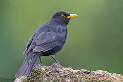 Blackbird, Turdus merula (Kevin B Agar) Tags: blackbird britishbirds littondale thedales turdusmerula