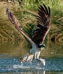 365 - Image 192 - Adrenaline rush... (Gary Neville) Tags: 365 365images 5th365 photoaday 2018 rivergwashtroutfarm osprey sony sonyrx10iv rx10m4 rx10iv iv garyneville bif