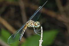 Blue Dasher female (noblesgeorge1) Tags: