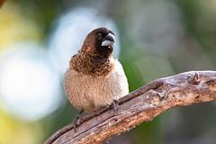 Society Finch (Ben-ah) Tags: bengalesefinch finch societyfinch cagebird bird boedel boedelconservatory vancouver canada bokeh plume plumage striated