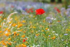 Wildflower Bokeh (eric robb niven) Tags: ericrobbniven scotland wildlife wildflower poppies bokeh springwatch