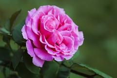A Classic In Pink (Modkuse) Tags: rose rosegarden flower flowergarden macro macrophotography macroflower shade nikon nikondslr nikond700 dslr 105mmf28nikkormacro 105mm nikon105mmf28macronikkor