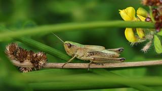 Meadow Grasshopper (f) Chorthippus parallelus