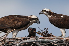 Approval....and anticipation!  :) (Paridae) Tags: ospreynest ospreywithyoung ospreyfamily pandionhaliaetus thingswithwings featheredfriends birdsofbritishcolumbia raptors birdsofprey fishingbirds birdsofafeather osprey afewofmyfavouritethings canoneos1dx canon500mm