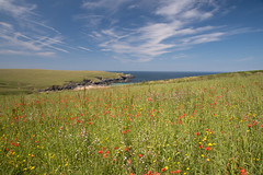 Poppy Fields, Porth Joke, Cornwall (Frightened Tree) Tags: poppy fields porth polly joke coast cornwall newquay nt national trust seascape landscape poppies wild flowers meadows tamron 2470 west pentire coastline coastal path summer uk nature brexit great britain
