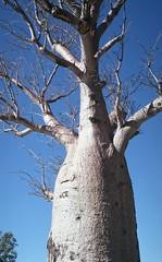 boab tree (Con_Pyro) Tags: 2018july perth leicam2 35mmfilm