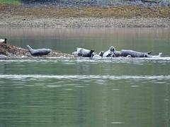 DSC02455 (jrucker94) Tags: ketchikan alaska coastalwildlifesearch excursion cruise port nature seal