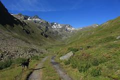 Nasco dans la combe des Planards. (bulbocode909) Tags: valais suisse bourgstpierre valdentremont combedesplanards chiens nature montagnes chemins paysages vert bleu nuages rochers
