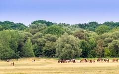 Herde (chagendo) Tags: pferd pferde weide outdoor tiere sonyalpha7ii