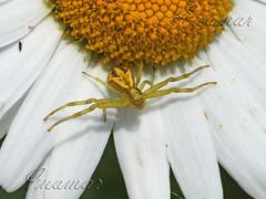 viejos macros (Marina-Inamar) Tags: araña margarita flor cordoba intiyaco argentina bicho macro insecto