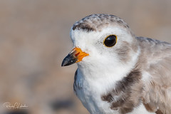 Piping Plover | 2018 - 36 (RGL_Photography) Tags: belmar birding birds birdwatching charadriusmelodus endangeredspecies gardenstate gatewaynationalrecreationarea jerseyshore monmouthcounty mothernature newjersey nikonafs600mmf4gedvr nikond500 ornithology pipingplover plover sandyhook shorebirds us unitedstates wildlife wildlifephotography