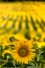 One in a thousand - Uno su mille (Stefano Avolio) Tags: girasole sunflower campo field giallo yellow natura nature stefanoavolio savolio girasoli fiori flowers fiore flower