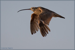 Long-billed Curlew 7285