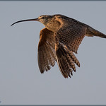 Long-billed Curlew 7285 thumbnail