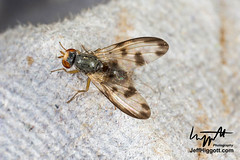 Palloptera umbellatarum, Pallopteridae (Jeff Higgott (Sequella.co.uk)) Tags: jeffhiggottphotography jeffhiggott sequella suffolk diptera fly flies twowinged wildlife nature