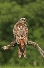 Red Kite (Chiv3) Tags: