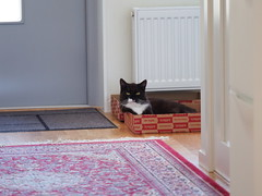 Tussi found a nice box... (vanstaffs) Tags: tussi tuzz tuxedocat t tux tusse tutu tuzz® myprettyliltuxedogirl