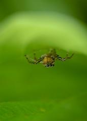 (Matt Claghorn) Tags: tokina100mmf28 nikond50 jumpingspider maeviainclemens ohiospiders spider macro