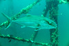 Amberjack (agasfer) Tags: 2018 florida panamacitybeach pcb underwater scuba diving marine life fish canon g1xmk2 intova iss2000
