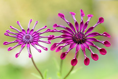Whirlygig Osteospermum (Mandy Disher) Tags: osteospermum