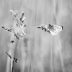 Papillon. (steph20_2) Tags: panasonic lumix gh4 tamron sp90 52bb m43 monochrome monochrom macro proxy papillon butterfly noir noiretblanc ngc blanc black bw white skanchelli insecte insect printemps spring carré square