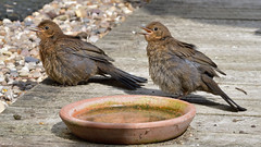 Young Blackbirds (image 3 of 3) (Full Moon Images) Tags: home garden patio wildlife nature baby juvenile blackbird sibling sunbathing