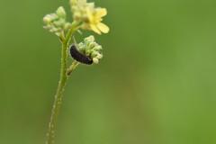 Larva en crucífera (esta_ahi) Tags: olèrdola flor flora flores silvestres penedès barcelona spain españa испания larva larvae insectos fauna cruciferae brassicaceae
