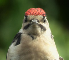 Happy Chick..x (Lisa@Lethen) Tags: greater spotted woodpecker chick bird nature wildlife spring feeding male