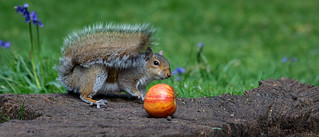 The Grey Squirrel, the stripy red apple and the bluebells.