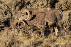 Big Horn rams (Lindell Dillon) Tags: bighornsheep rams wildlife nature taos newmexico riograndegorge