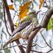 Olive-backed Oriole - 2 of 2 - Oriolus sagittatus - Barton - ACT - Australia - 20180629 @ 16:08