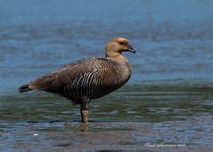 Upland Goose - Female (muppet1970) Tags: uplandgoose shellgoose goose rspb suffolk water waterfowl southamerica wildlife