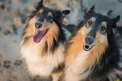 06/12 Leia&Nora, smiles and sand (shila009) Tags: leia nora perros dogs portrait summer sand smile happy roughcollie 0612