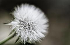 _DSC0114 (Chusfuen) Tags: dientedeleon flower macro dandelion