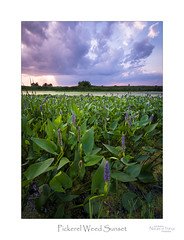 Pickerel Weed Sunset (baldwinm16) Tags: il illinois july aquaticplants bog clouds dusk habitat marsh midwest nature naturepreserve outdoors outside pickerelweed season shoreline sky slough summer sunset swamp twilight wetland natureofthingsphotography omot