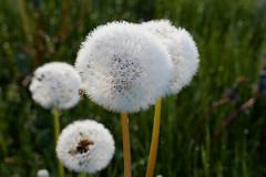 _MG_1355_C (grzegorz_63) Tags: dandelion makro macro flora nature outside canon70d