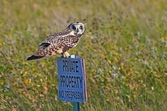 Short-eared owl (Asio flammeus) (rangerbatt) Tags: nikon afp 70300mm 14563g ed shortearedowl asioflammeus d7500 utah