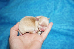 Bubbles 3.8 oz 2 days old (17) (tlcpuppylovelens) Tags: miki48oz38oz2daysold
