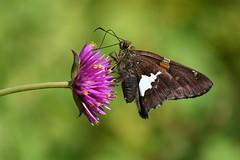 Silver spotted skipper (KsCattails) Tags: butterfly garden kscattails macro overlandparkarboretum silverspotted skipper