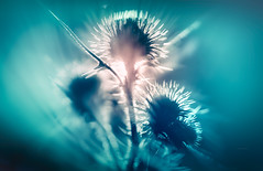arise (Simon[L]) Tags: thistle prickles spines backlit glow sun rise canon50mmf18ltm modified