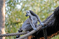 Pairi Daiza 3_2018_07_14_(35) (Juergen__S) Tags: belgium belgien belgique brugelette pairidaiza park panda pelican animals jousting feeding lemur african dance dancers tiger portrait