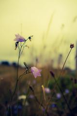 3A3B7017-2250-438E-826D-72C40EDCEFDF (tonguedevil) Tags: landscape outdoor field meadow flora flower light harebells