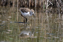 Sandpiper (ryorii) Tags: sandpiper scolopacide birds shorebirds semipalmated pond water wild wildlife uccelloacquatico uccelli stagno acqua camargue france francia reflection riflesso riflessi