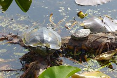Enjoying the sun (BMME) Tags: outdoors pointpeleenationalpark naturephotography nature turtles