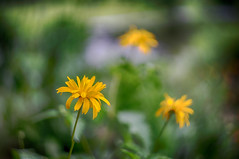 (kderricotte) Tags: sony sonya7ii ilce7m2 helios helios44m458mmf2 vintagelens bokeh depthoffield flower plant outdoor garden